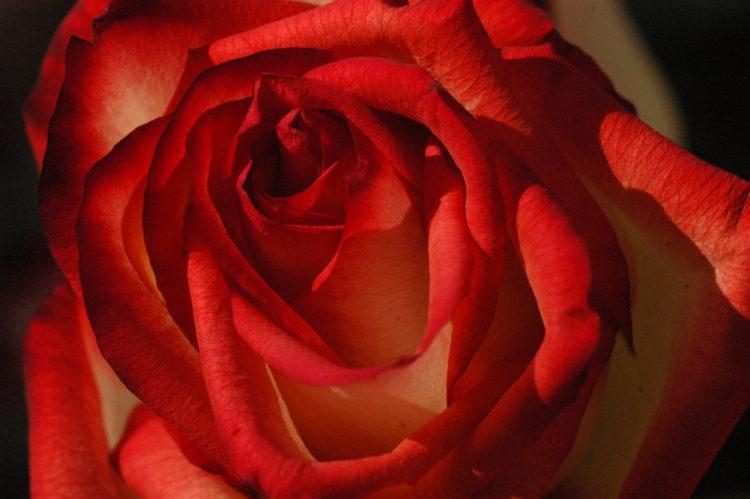 cosmic_rose