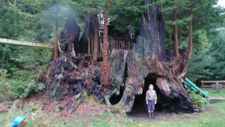 Conservationists Successfully Clone Five Massive Redwood